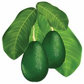 picture of avocado tree  - Avocados on a branch with leaves - JPG