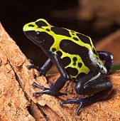 image of poison arrow frog  - poison frog or dart frog with bright vivid colors beautiful amphibian pet of the amazon rain forest Dendrobates tinctorius a poisonous animal - JPG