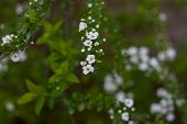 Blossoming Bush With White Flowers In Spring poster
