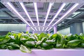 Organic hydroponic Brassica chinensis  vegetable grow with LED Light Indoor farm,Agriculture Technol poster