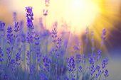 Lavender field, Blooming Violet fragrant lavender flowers. Growing Lavender swaying on wind over sun poster