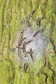 Oak Process Caterpillars In Web On Bark Of Oak Trunk poster