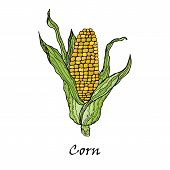Corn Vegetable. Vector Corncob With Leaves. Vegetarian And Vegetarian Cuisine Vegetable And Agricult poster