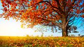 image of fall day  - Big autumn oak with red leaves on a blue sky background - JPG