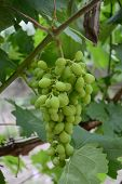 Green Grape As Food Background. The Close-up Of Tasty Natural And Fresh Grapes. Close Up Image Of Yu poster