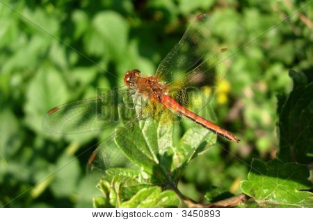 Dragonfly siting on the green leaf of