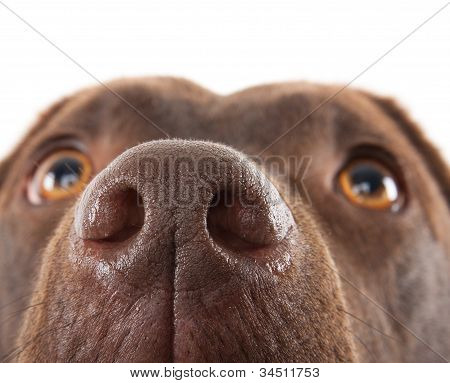 Bruine Labrador neus Close-up
