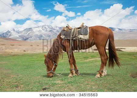 Stallion Under Saddle