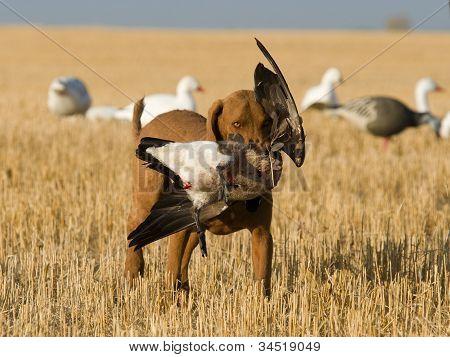 Perro recuperar un ganso