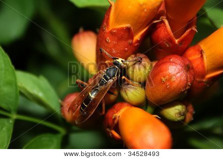 Wasp on Trumpet Vine
