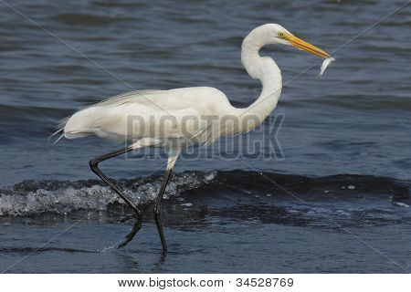 Great Egret running with fish