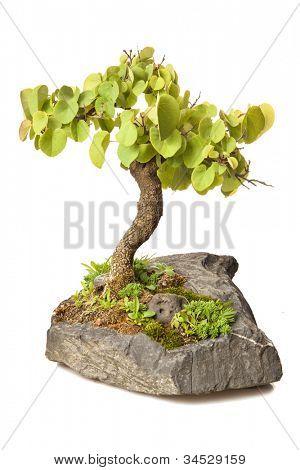 Cercis siliquastrum bonsai isolated on white
