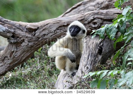 White Cheeked Gibbon or Lar Gibbon  baby