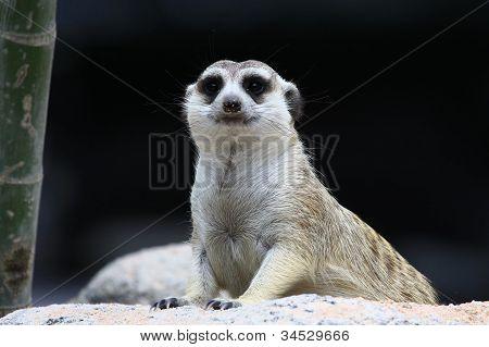 meercat looking