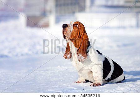 sad dog Basset Hound in winter