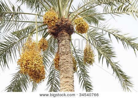 Beautiful date palm with clusters of dates