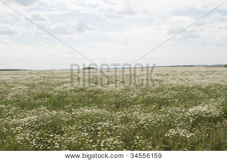 Ox-eye Daisy Field