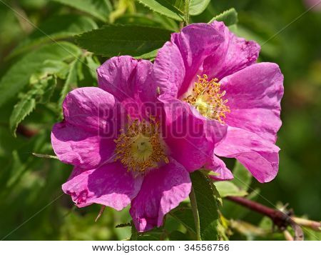 Two Flowers Of A Dogrose