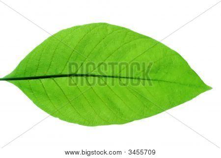 Spring Leaves Of Chestnut