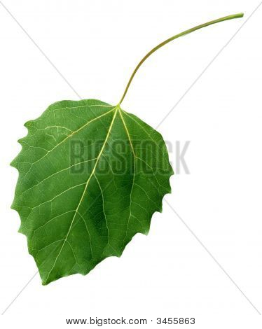 Black Poplar Leaf