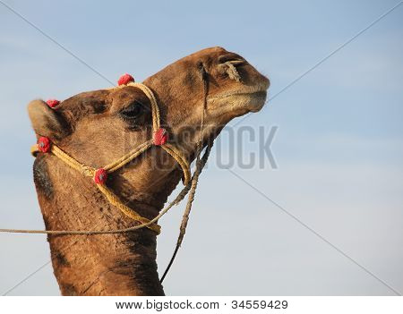 A Hoity Toity Camel