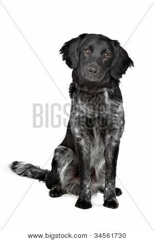 Stabyhoun,frisian Pointing Breed