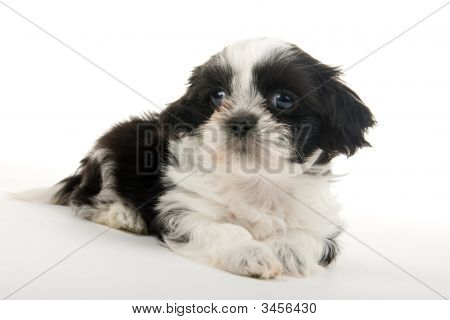 Puppy Resting
