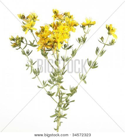 Common St John's Wort wild plant Hypericum perforatum