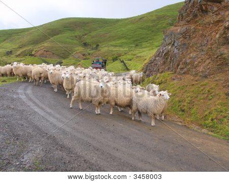 Sheep And Grassland
