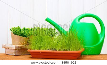 Green grass in a flowerpots and watering can on white wooden background