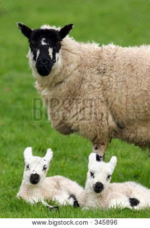 Mother Sheep And Twin Lambs