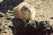 picture of gopher  - Gopher(Spermophilus dauricus) in the wild nature near the mink