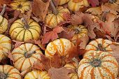 picture of mear  - Small pumpkins surrounded by fallen leaves -- Mears, Michigan, USA