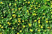 Yellow Early Flowers Kaluzhnitsa Caltha . Little Yellow Spring Flowers. The First Spring Flowers, Ea poster