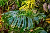 Typical Leaf Of A Swiss Cheese Plant In Closeup, Nature Background, Popular Tropical Plant Specie Fr poster