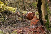 Beaver Gnawed The Trunk Of Black Alder Tree. Tree Cut Down By Beaver. Tree Trunk With Beaver Tooth T poster