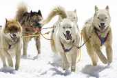 image of sled-dog  - Dog sledding with Huskies in Swiss Alps Switzerland