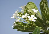 image of champa  - White Frangipani Is A  Beautiful White Flower With Yellow Center - JPG