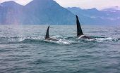 The Pair Of Transient Killer Whales Travel Through The Waters Of Avacha Bay, Kamchatka poster