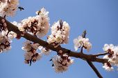 A Branch Of Blooming Apricots With Bees Collecting Pollen. Against The Background Of Blue Sky. poster