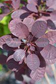 Smoke Tree Royal Purple - Latin Name - Cotinus Coggygria Royal Purple poster