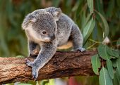 Koala Joey Walks On A Tree Branch With Eucalyptus Leaves Shown In The Background poster