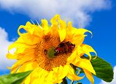 Sunflower On A Summer Sunny Day With Butterfly, Against Blue Sky. Sunflower On A Summer Sunny Day. poster