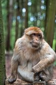 Macaque Monkey Portrait With Rainforest Background Closeup Fluffy Cute Emotional Monkey Forest Zoo B poster