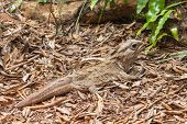 Closeup Of The New Zealand Northern Tuatara Reptile Basking On Dry Leaves In Rainforest poster