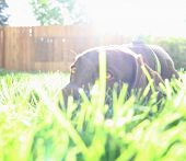 foto of applehead  - a cute labrador puppy mix enjoying the outdoors - JPG