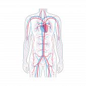 Vector Isolated Illustration Of Human Arterial And Venous Circulatory System In Chest Anatomy. Blood poster