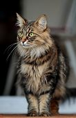 A Beautiful Norwegian Forest Cat Standing On A Doorstep Looking Out poster