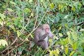 One Japanese Baby Monkey In Forest Is Eating Some Fruits On The Branch Of Tree, Small Fruits On The  poster