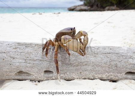 Poo Kai  Crab In Tachi Island Southern Of Thailand